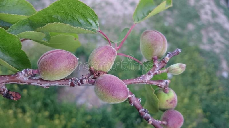 Abrikozenboom in de lente stock afbeeldingen