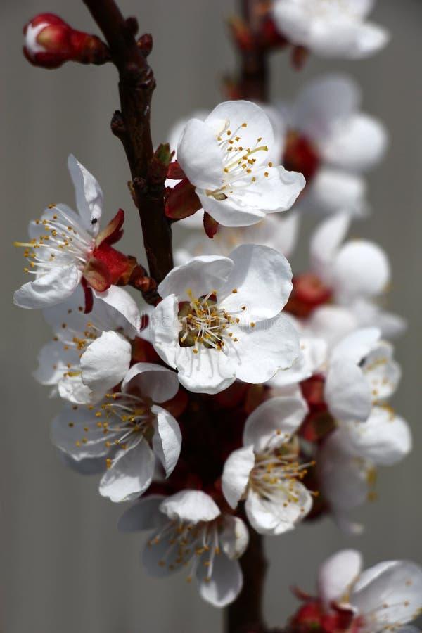 Abrikozentakken in bloemen stock foto's