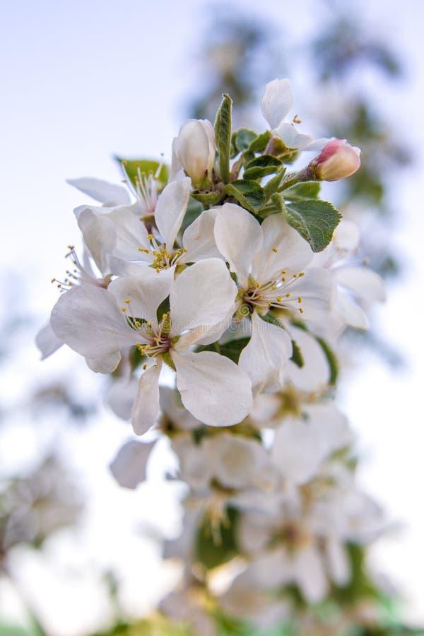 Abril, florece un manzano en un fondo ligero foto de archivo libre de regalías