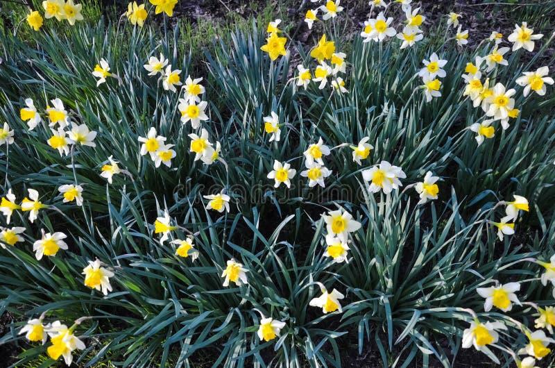 abril, os primeiros narcisos amarelos das flores da mola, os brancos e os amarelos em um jardim verde em um prado ensolarado nasa foto de stock