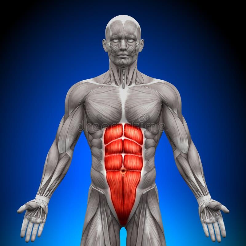 Abs - мышцы анатомии иллюстрация вектора