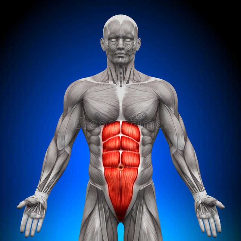 Abs - Anatomy Muscles royalty free stock images