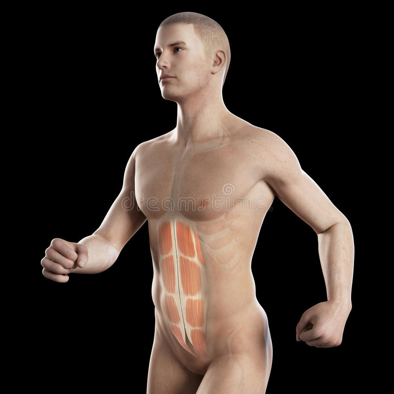 The abs of a jogger. Anatomy illustration showing the abs of a jogger stock illustration