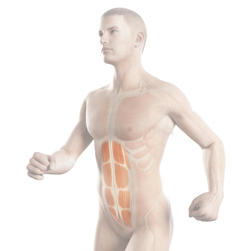 The abs of a jogger. Anatomy illustration showing the abs of a jogger royalty free illustration