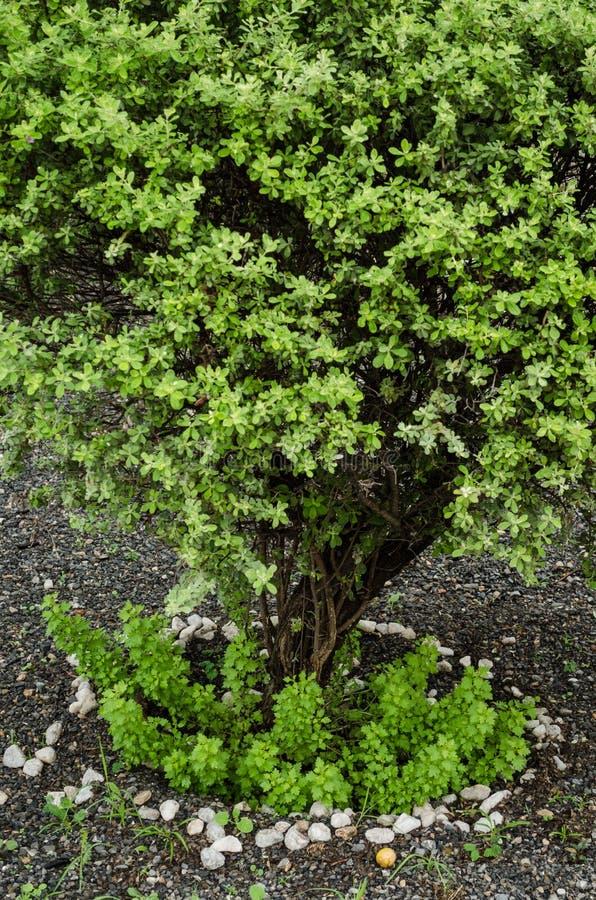 Abschluss bis zu einem allgemeinen Wacholderbusch in einem Park, Naturhintergrund stockfoto