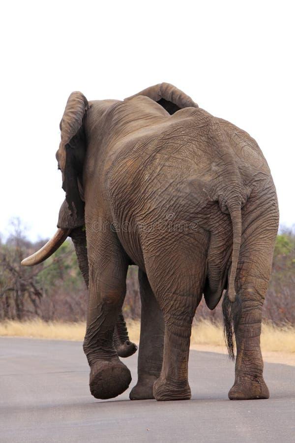 Abschluss des afrikanischen Elefanten oben stockfoto