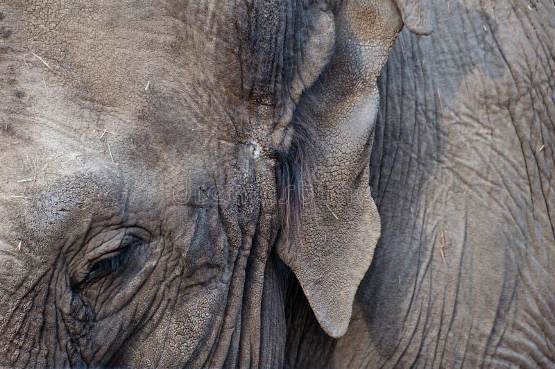 Abschluss des asiatischen Elefanten oben stockfotos
