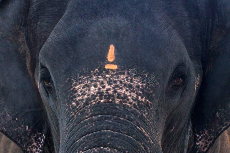 Abschluss des indischen Elefanten herauf Foto lizenzfreies stockfoto