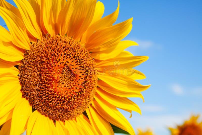 Abschluss des Sonnenblumekopfes oben lizenzfreies stockbild