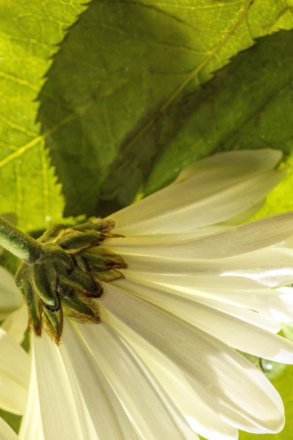 Abschluss des weißen Gänseblümchens herauf a unter den Blättern lizenzfreie stockfotografie