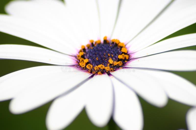 Abschluss des weißen Gänseblümchens oben stockfoto