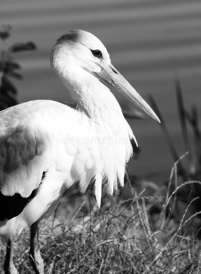 Abschluss des weißen Storchs oben, Schwarzweiss-Foto lizenzfreie stockfotos