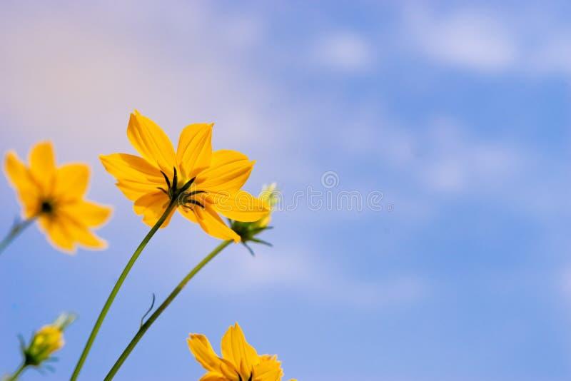 Abschluss herauf Ameisenansicht Starburst-Blumen-Wiesengarten auf blauem Himmel stockfotos
