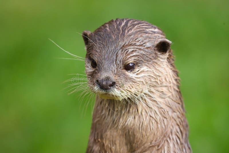 Abschluss herauf asiatischen kurzen gekratzten Otter Amblonyx cinerea stockfotografie
