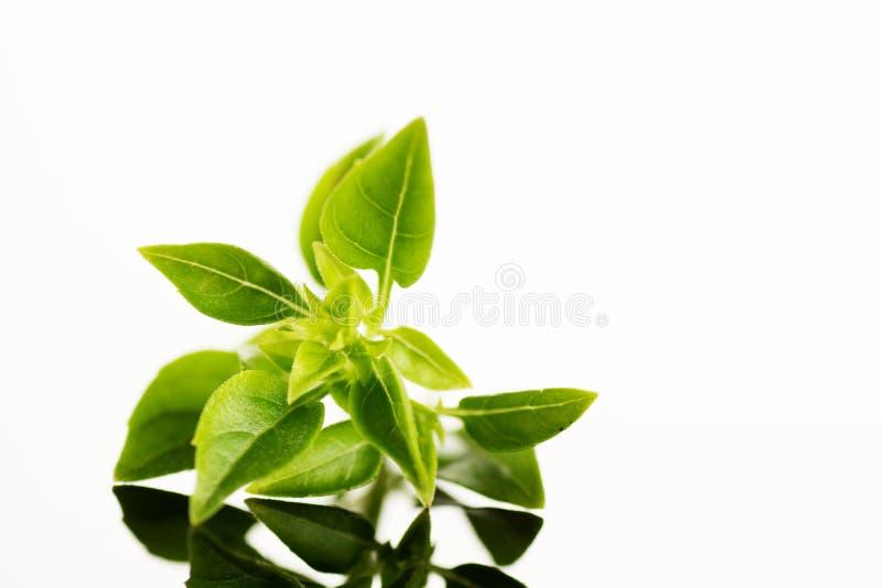 Abschluss herauf Atelieraufnahme von den frischen grünen Basilikumkrautblättern lokalisiert auf weißem Hintergrund Griechischer B stockfotos
