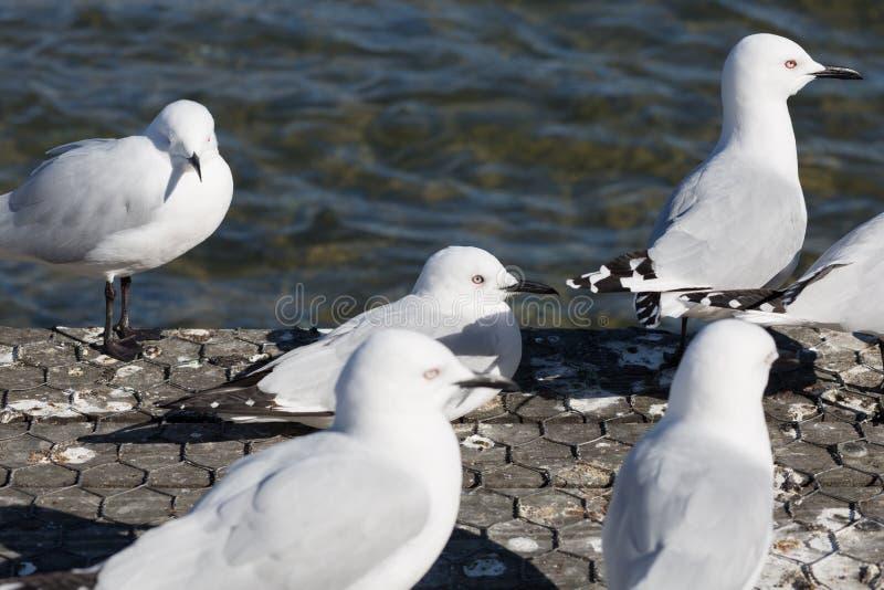 Abschluss herauf Bild von Seemöwen machen eine Pause lizenzfreies stockfoto