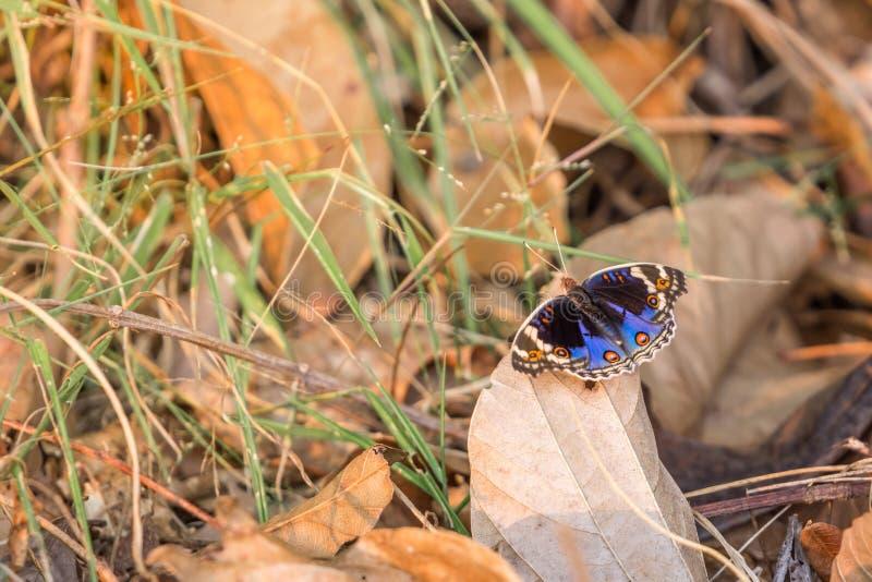 Abschluss herauf blaues Stiefmütterchen u. x28; Junonia-orithya& x29; Schmetterling auf trockenem Blatt am trockenen immergrünen  stockfotografie