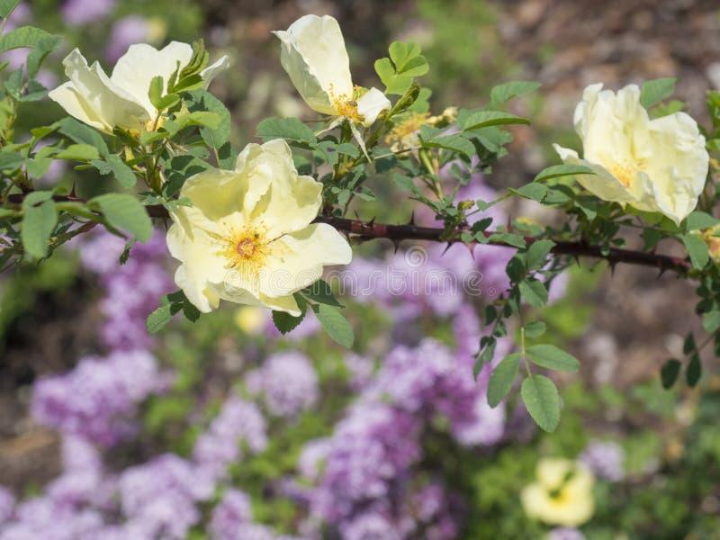 Abschluss herauf Blumen-Niederlassungszweig gelber des Brier wilder rosafarbener Hunderosafarbenen, b lizenzfreies stockfoto