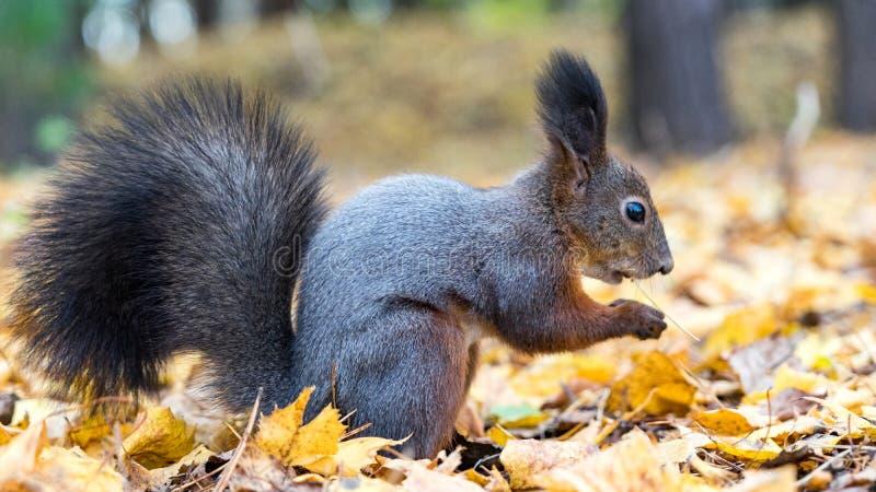 Abschluss herauf das Eichhörnchen, das Nüsse im Herbstwald isst lizenzfreie stockfotografie