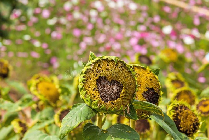 Abschluss herauf das Herz - geformt vom Sonnenblumenfeld auf natürlichem Licht stockfoto