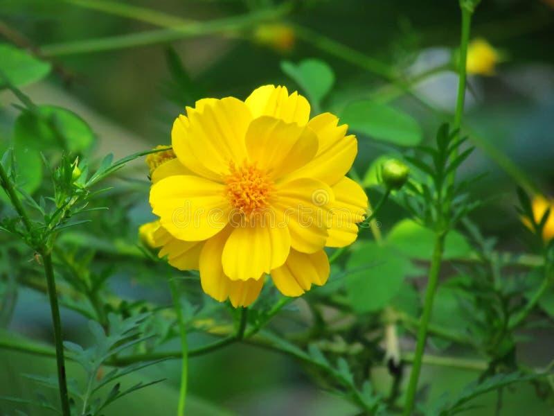 Abschluss herauf die gelbe Kosmosblume, die mit grünem Naturhintergrund blüht stockfotos