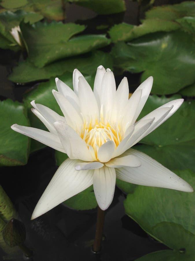 Abschluss herauf Draufsichtweiß-Lotosblume ist, hervorragend blühend und mit Blatt im Teich, vertikale Ansicht lizenzfreies stockbild