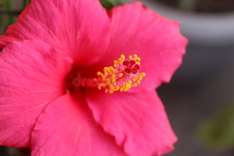 Abschluss herauf erstaunliche Hibiscusblume lizenzfreie stockfotografie