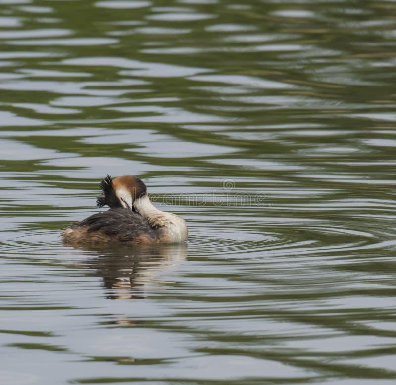 Abschluss herauf Haubentaucher-, Podiceps cristatusschwimmen auf klarem grünem See und das Putzen ihres Flügels, Kopienraum lizenzfreies stockbild
