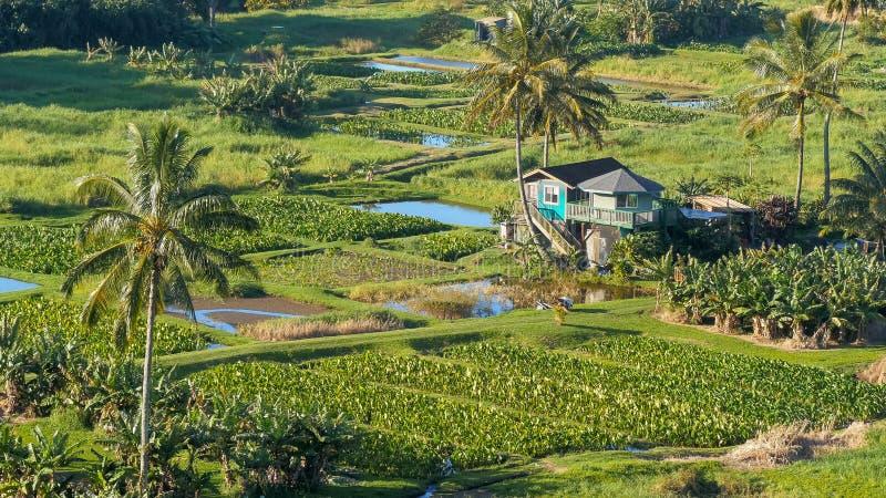 Abschluss herauf hohe Winkelsicht von Wasserbrotwurzelfeldern an der keanae Halbinsel auf Straße zu Hana lizenzfreie stockfotografie