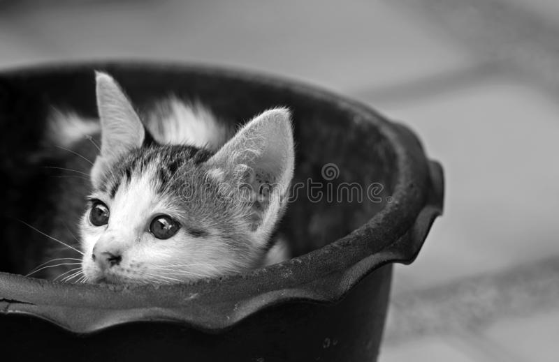Abschluss herauf kleines nettes Kätzchen in einem Blumen-Topf, Schwarzweiss lizenzfreie stockbilder