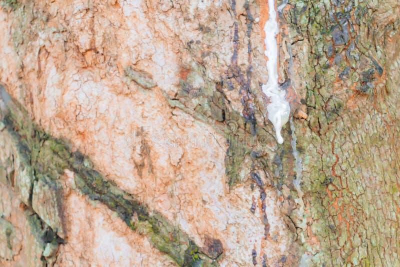 Abschluss herauf Latex im Stammgummibaum mit Kopienraum addieren Text lizenzfreies stockfoto