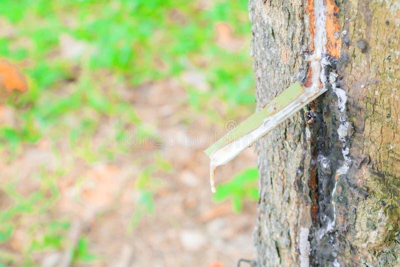 Abschluss herauf Latex im Stammgummibaum mit Kopienraum addieren Text lizenzfreie stockfotos
