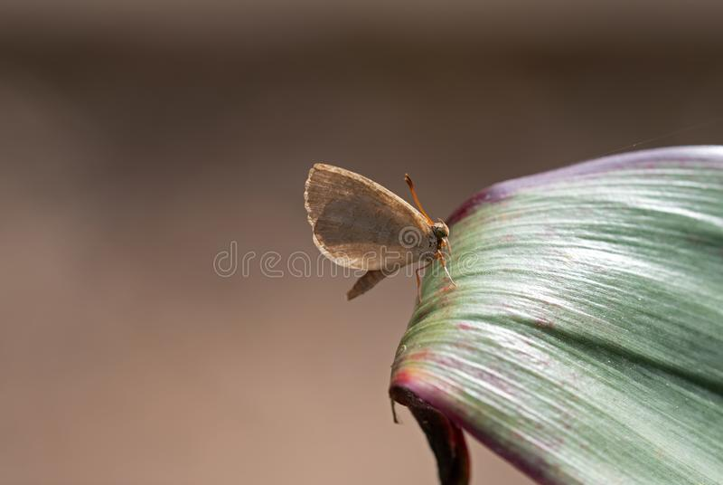 Abschluss herauf Little Brown-Schmetterling auf dem grünen Blatt lokalisiert auf Hintergrund mit Kopien-Raum lizenzfreies stockbild