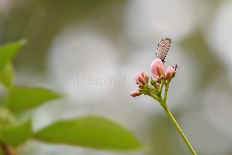 Abschluss herauf Little Brown-Schmetterling auf rosa Blume lizenzfreie stockfotos