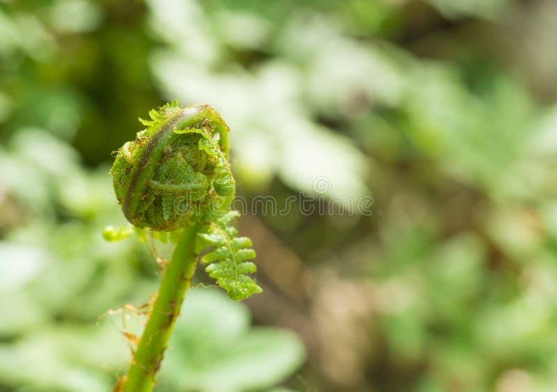 Abschluss herauf Makrowurmfarn Dryopteris filix-mas-Blätter winden sich herein lizenzfreie stockbilder