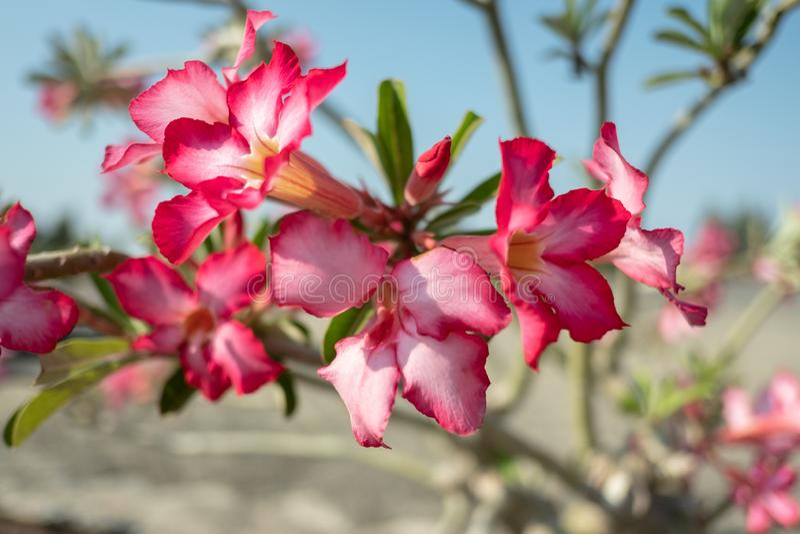 Abschluss herauf rosa Blumen mit Sonnenuntergängen stockfotografie
