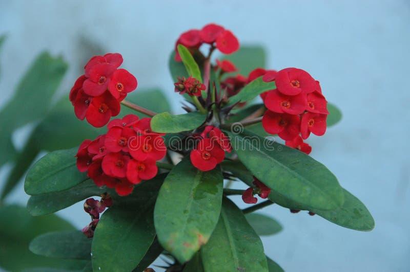 Abschluss herauf rote Rosen, rote Blumen und grünes Blattideal für Hintergrund stockbilder