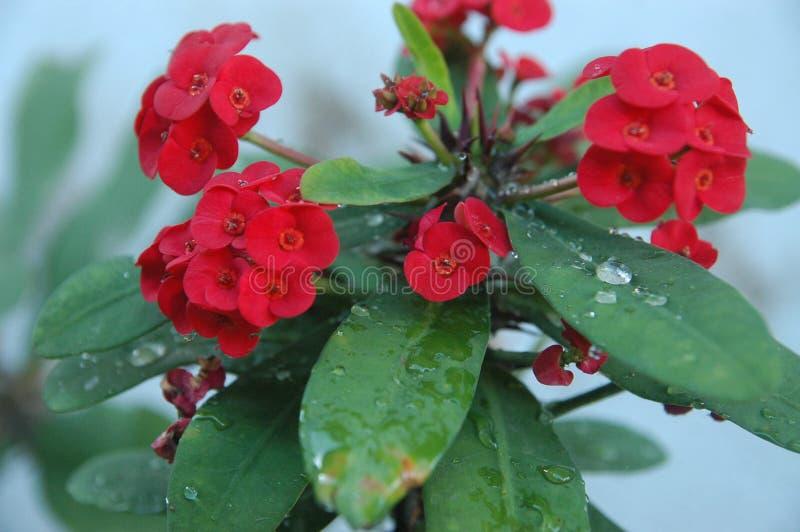 Abschluss herauf rote Rosen, rote Blumen und grünes Blattideal für Hintergrund lizenzfreies stockfoto