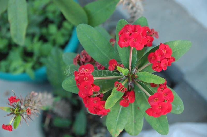 Abschluss herauf rote Rosen und grünes Blattideal für Hintergrund lizenzfreies stockbild