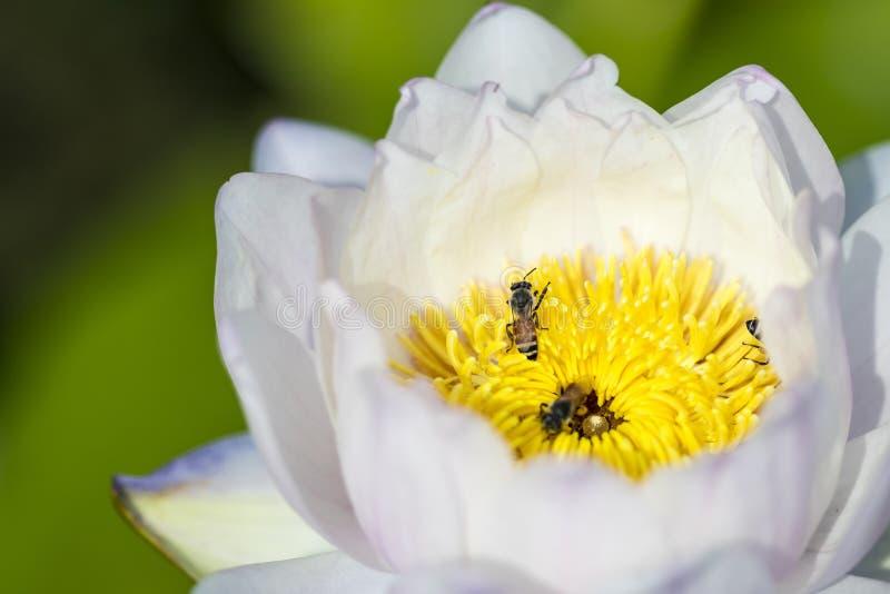 Abschluss herauf schönen einzelnen weißen und gelben Lotos mit Bienen finden Honig am hellen Tag lizenzfreie stockbilder