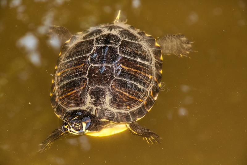 Abschluss herauf Schildkrötenschwimmen im See stockfotografie