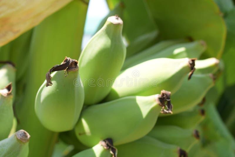 Abschluss herauf selektiven Fokus der rohen Banane lizenzfreie stockfotografie