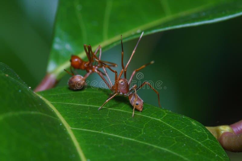 Abschluss herauf springende Makrospinne isst Weberameise, Naturhintergrund Insekten- und Tierthemen lizenzfreie stockbilder
