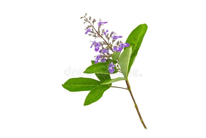 Abschluss herauf violettes Blume Vitex-trifolia Linn oder indisches Liguster ist Kraut in Thailand, lokalisiert auf Weiß Gespeich stockfotos