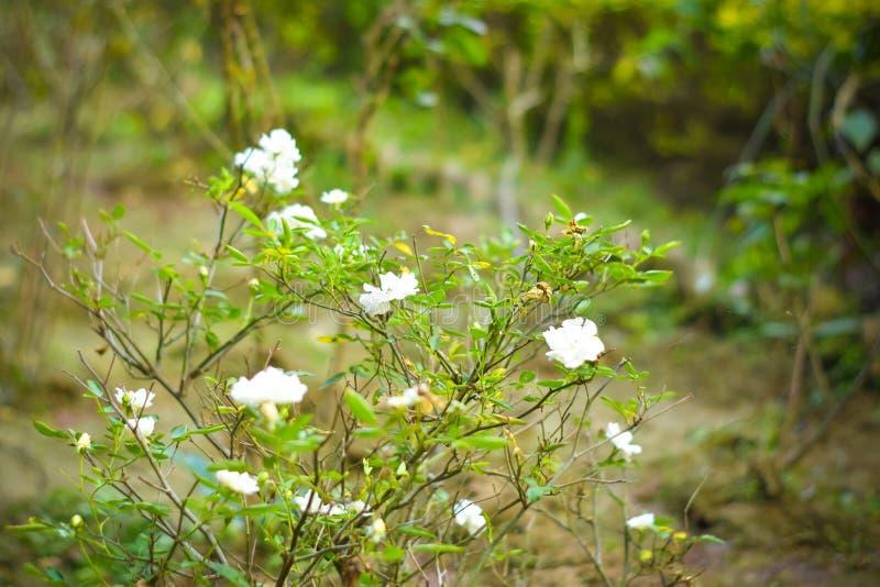 Abschluss herauf weiße Blumen auf grüner Niederlassung Weiße Rose und Knospe auf Garten Valentinsgrußhintergrund mit frischen Blä lizenzfreie stockfotografie