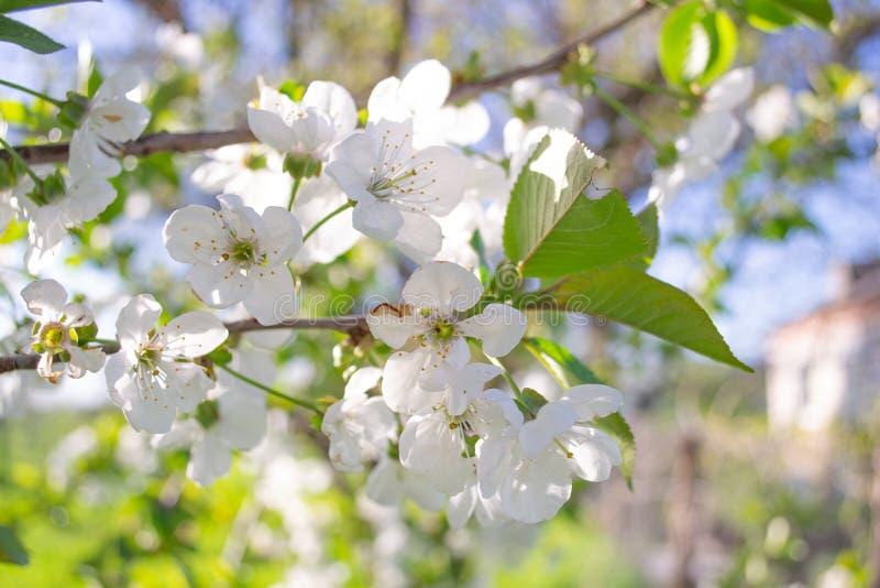 Abschluss herauf weiße Blumen der Kirschblüte und Frühlingshintergrund des blauen Himmels lizenzfreie stockfotos