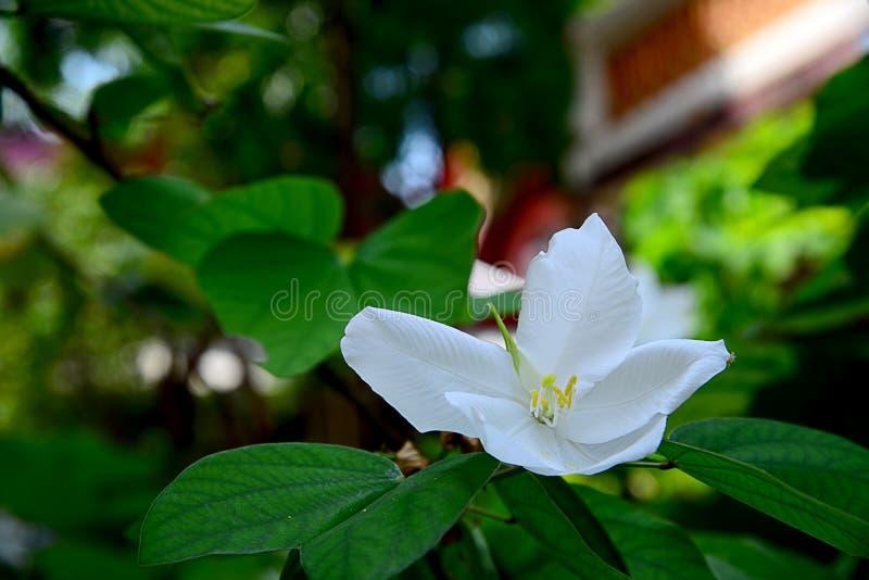 Abschluss herauf weiße Snowy-Orchideen-Blume lizenzfreies stockbild