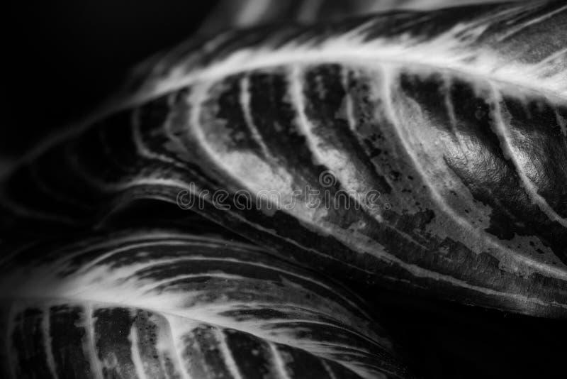 Abschluss herauf Zusammenfassung von stripey Blättern einer Zimmerpflanze stockbild