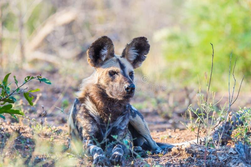 Abschluss hoch und Porträt eines netten wilden Hundes oder des Lycaon, die sich im Busch hinlegen Safari der wild lebenden Tiere  lizenzfreie stockbilder