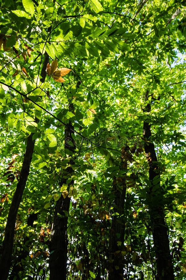 Abschluss oben auf grünen Laubbuchenbäumen mit ersten Zeichen des Herbstfall-Orangenblattes lizenzfreies stockbild